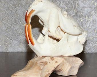 Eurasian Beaver - Taxidermy Skull For Sale - Castor - ST3377