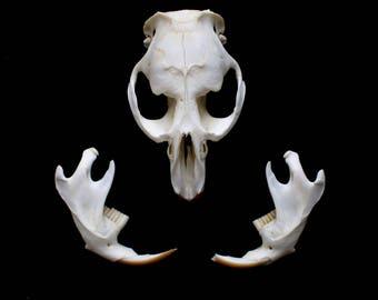 Muskrat skull, taxidermy skull, bone skull