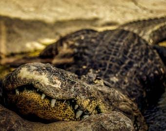 Alligator, Animal Photography, Wall Art, Animal prints,Alligator Photography, Wall Art Print, Reptile Photography, Alligator Photography,