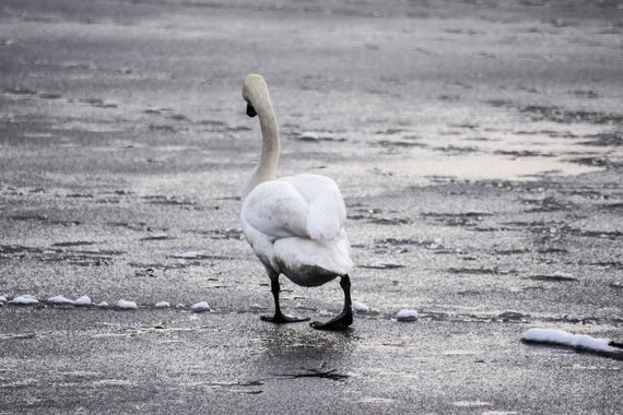 Swan Photography - No One wants to Play!, Swan, Wildlife Photography, Swan Print, Swan Photo, swan art, swan decor, pond photography