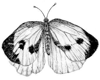 Cabbage White Butterfly Print