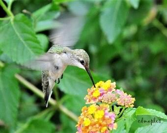 Hummingbird Photo, Wildlife Photo, Hummingbird on Lantana,