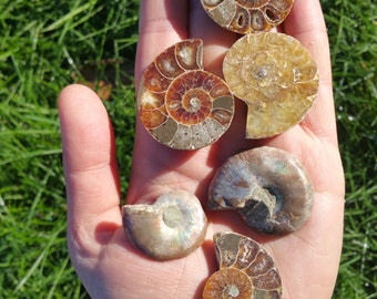 Fiery Ammonite Fossils Half - One Small Half - Organic Gems, Prehistoric Jewelry, Ancient Dinosaur Time Capsule