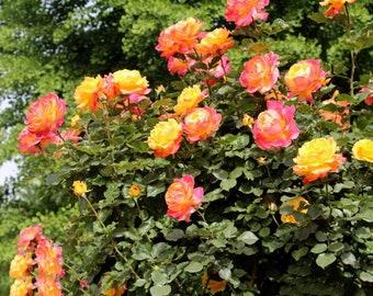 100 fresh Seeds  Pack Rare Full petalled Orange Rose  Heirloom Very Fragrant Rose garden flower