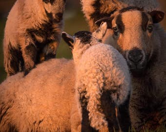 Sheep and Lambs Wall Art - Photography By Myself