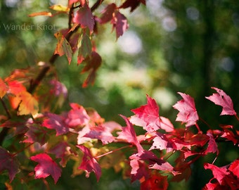Red Fall Leaves - Nature Photography Prints - Matted