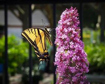 Buddleia Pink Delight Butterfly Bush 3 Gallon
