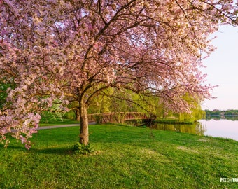 Flowering Pink Tree  - Ottawa Photography, Tree Photography, Fine Art Print, Ontario Photography, Spring Photography, flowers, blossoms