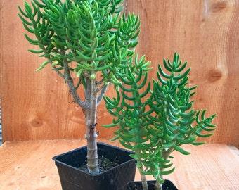"Succulent Plant - Crassula Tetragona - Miniature Pine Tree 4"""