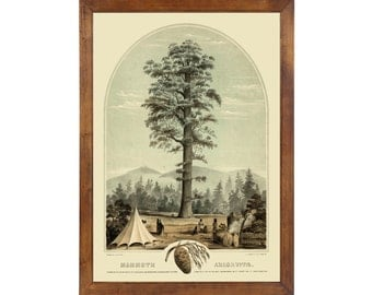 Mammoth Arborvitae, 1872; 24x36 inch print reproduced from a vintage lithograph