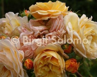 English rose, photo poster, print on canvas, ALU-Dibond direct printing, original digital photo