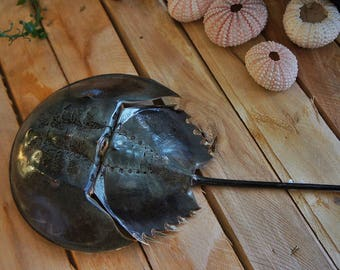 Small taxidermy horseshoe crab, black Horseshoe Crab