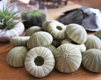 "1 X green Sea Urchin 2''-3.5""-qty 1-Beach Home Decor-Sea Urchin-Beach Wedding Decor-Sea Shells-Sea Urchin-Nautical Decor-Urchin Bulk"