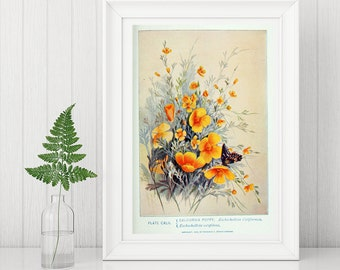 Wall Art Print showing A Classic Western Wild Flower The Californian Poppy taken  from A Nineteenth century textbook