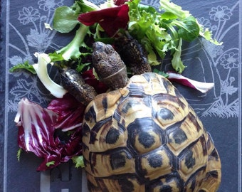 Personalised tortoise feeding slate