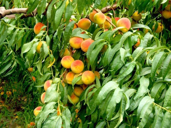 10 Nemaguard Peach Tree Seeds Fast Growing Organic Sweet Fruit