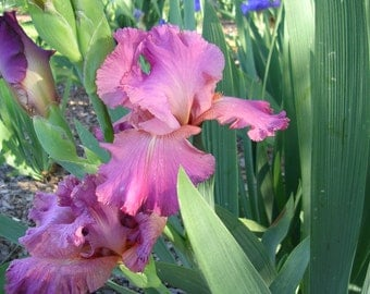 Iris 'Rose Caprice' Rosy-Pink Tall Bearded Iris