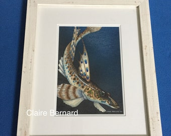 Original watercolour painting Gurnard fish - fine art