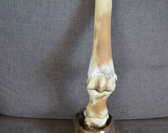 The foot of a horse skeleton