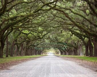 Aisle of Oak Trees digital backdrop