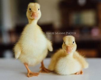 Duck Photograph, Square Print, Farm Animal Photography, Rustic Home Decor