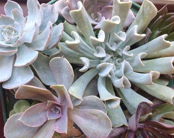 10 Large Succulent Leaves for Propagation