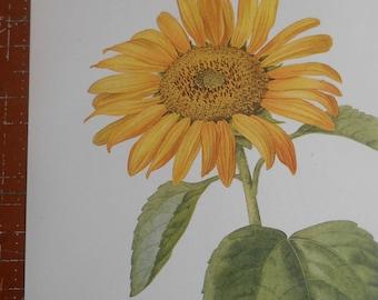 Antique Color Lithograph, Sunflower, 1924 wildflower botanical, vintage art, wall decor