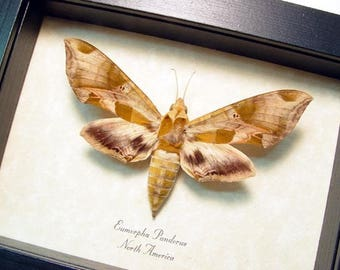Real Framed Eumorpha Pandorus The Pandora Sphinx Moth 9440