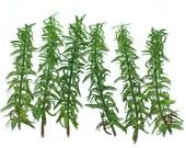 6 Green Rosemary Sprigs
