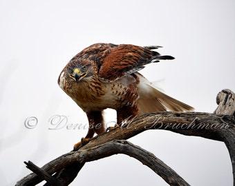 Wild Raptor Photos - Ferruginous Hawk Photo - Hawk Photos - Hawk Pictures - Desert Wildlife Photography - Desert Hawk Photo