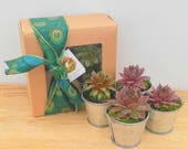Succulent Gift Box, Winter hardy Variety of 4  Succulent Chicks