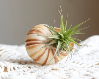 Air Planter Snail Shell, Air Plant Display, Little Something For All Ages, Whimsical Spring Wedding, Garden Party Favor, Gift Wrapped, Hygge