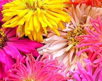 Zinnia, Giant Cactus Blended Zinnia | Massive Lovelies in Various Colors Makes an Excellent Cut Flower