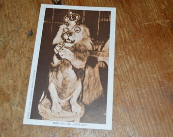 Old sepia postcard King Leo the lion St. Louis Zoo circus rppc 1949 real photo