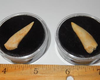 Fossil Enchodus (saber toothed- herring fish) Tooth