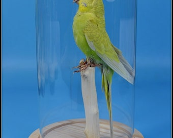 real birds taxidermy of yellow budgerigar  mounted with glass dome ,cool gift,free shipping D#