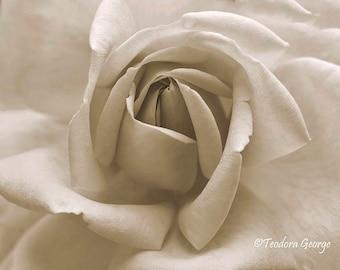 Macro Rose  Photo Print