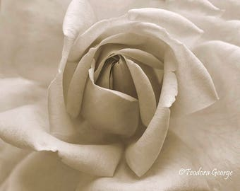 Macro Rose  Photo Print, Rose Photography, Flower Photography, Garden Photography, Rose