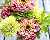 Heirloom Zinnia Seed, Queen Red Lime, Benary's Giant Lime Zinnia, Two Varieties, Great for Cut Flower Gardens and Butterfly Gardens