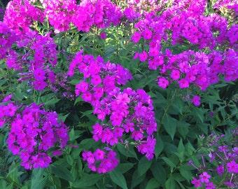 Garden Phlox, Purple Phlox paniculata, Live Plant, Perennial Garden Favorite, Great for Butterfly Gardens, 1 Quart Grown Plant