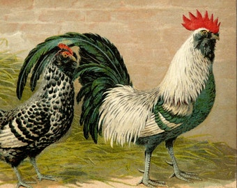 1899 Antique print of a ROOSTER and HEN. Chicken. Poultry. Chickens. Hens. Cock. 117 years old nice lithograph