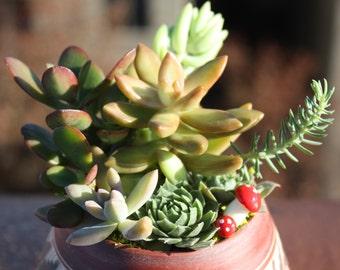Ozomatli Succulent Garden - Crisp Collection of Sedeveria, Crassula, Burrito, Sempervivum & Sedum Plants in Aztec Planter