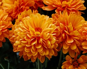 Tangerine Mums (FREE SHIPPING in the U.S. only)