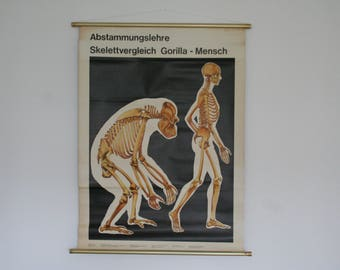 Vintage. Pull down chart. Mid Century. Educational. German DDR. Biology. School. Science. Poster. Canvas. Skeleton gorilla (807)
