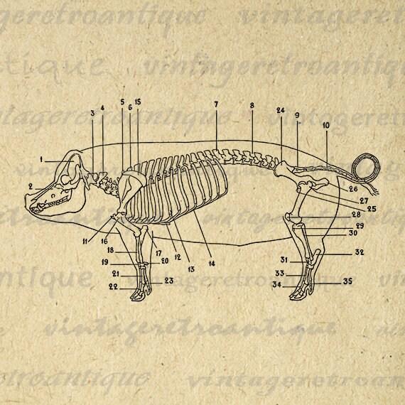 pig bone diagram pig butcher diagram digital image pig skeleton diagram printable graphic animal #7