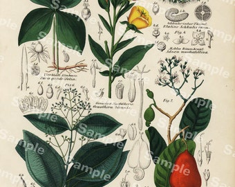 Gorgeous Natural History hand colored antique botanical print from German Encyclopedia  flowers ferns trees and fruits