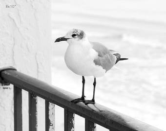 Seagull photo print, beach wall art decor, black and white bird photography, Laughing Gull picture, paper or canvas 8x10 12x12 16x20 24x36