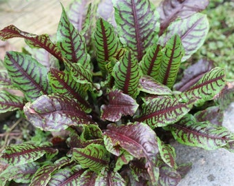 HSO) GREEN BLOOD Veined Sorrel~Seeds!!!~~~~~~~Beautiful Salad Fixins'!!