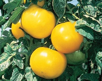 VTH) LEMON BOY Tomato~Seeds!!~~~~~Low Acid Heirloom!