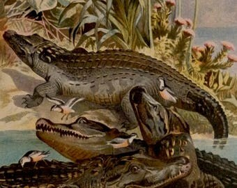 "Antique print.1884.NILE CROCODILE.Chromolithograph.Alligator prints.Antique fauna plate 133 years old print.9.8x6.6"" or 25X17cm."